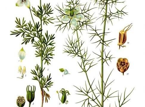 Nigella_sativa_-_Köhler–s_Medizinal-Pflanzen-227